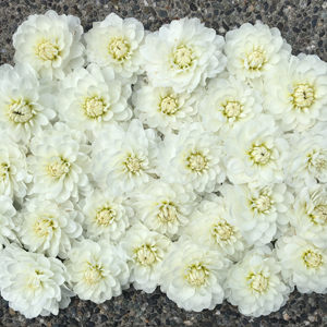 Flirty Fleurs Dahlias - Bride To Be Dahlias - White Dahlia Tubers