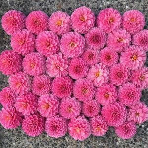 Flirty Fleurs Dahlias - Rebecca Lynn Dahlias - Hot Pink Dahlia Tubers