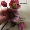 Flower Focus :: Hellebores