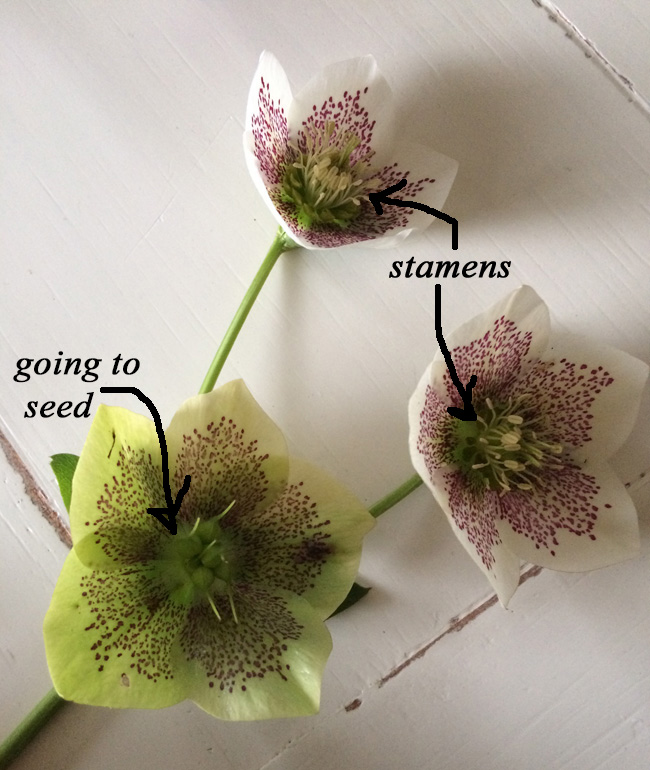 harvesting and cutting hellebores