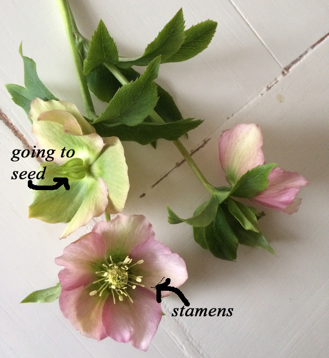 when to pick hellebores