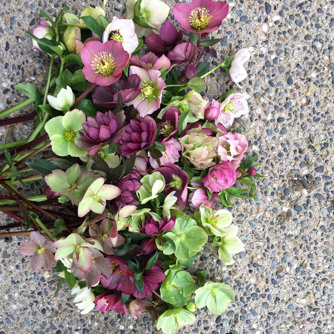 Hellebores grown by Alicia Schwede of Flirty Fleurs Flower Blog