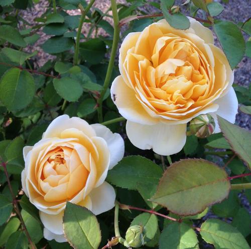 Charlotte David Austin Garden Rose