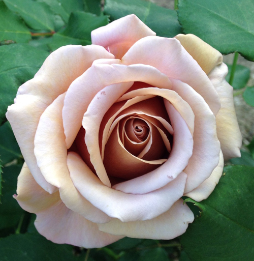 Koko Loko Rose by Weeks Roses