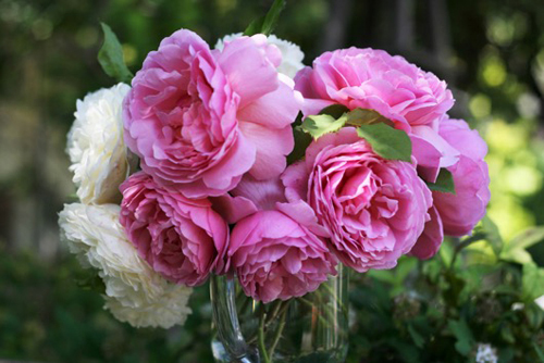 Princess Alexandra of Kent - pink garden roses