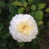 In The Garden with Fleurie – Roses