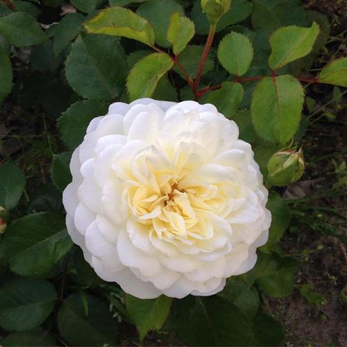 Tranquility - David Austin Garden Rose