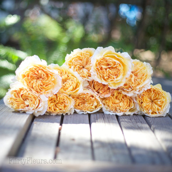 Beatrice by David Austin - Alexandra Roses Via Garden Roses Direct