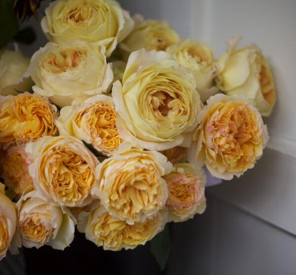 Beatrice by David Austin - Alexandra Roses Via Garden Roses Direct