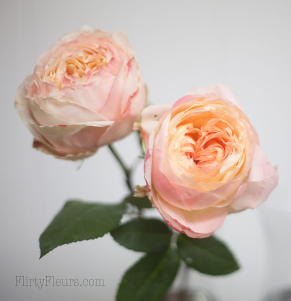 Princess Sakura & Princess Aiko - Alexandra Roses Via Garden Roses Direct