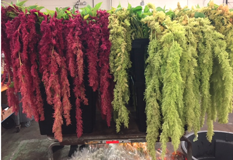 Dutch Hanging Amaranthus DV Flora