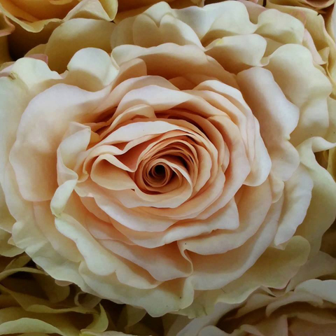 Pearl Finesse Roses Mayesh