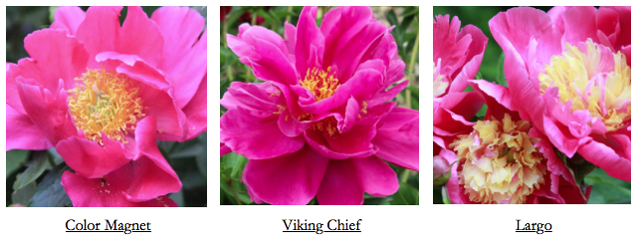 Peony's Envy – Plant Varieties
