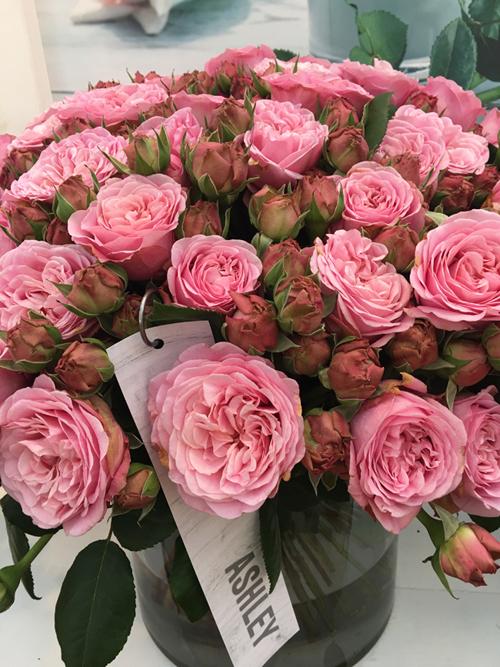 Ashley Garden Roses