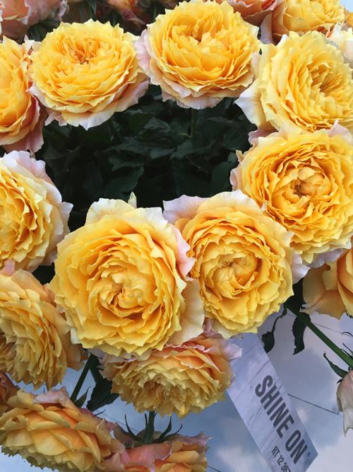 Shine On Garden Roses