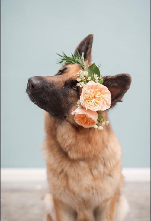 german shepherd wearing flowers