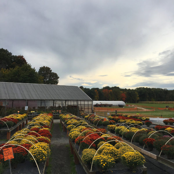 Visting Massachusetts - admiring all the mum plants for sale