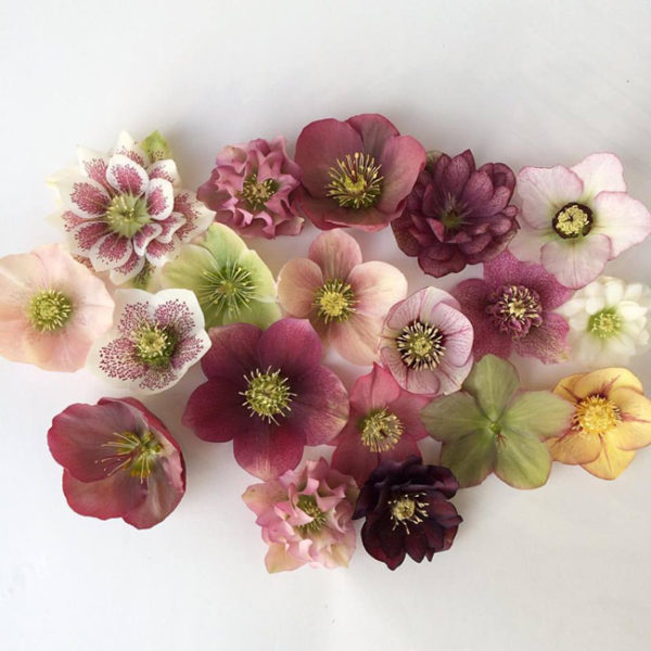 Hellebores grown by Flirty Fleurs