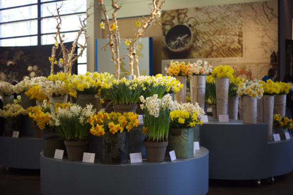 Fantastic display of Daffodils at Keukenhof in Holland