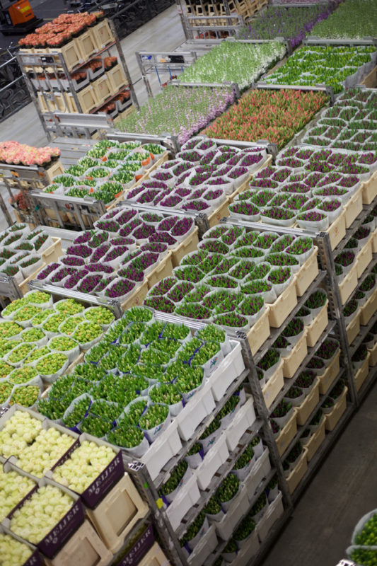 Flower carts filled with Tulips at Aalsmeer Flower Auction
