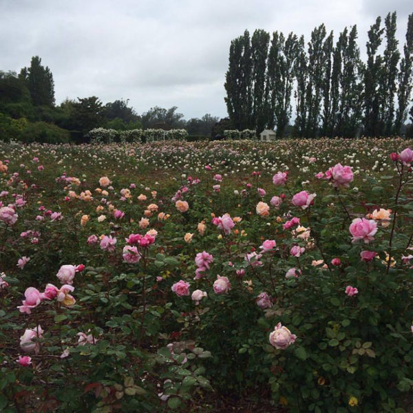 Garden Valley Roses in Petaluma, California in full bloom.