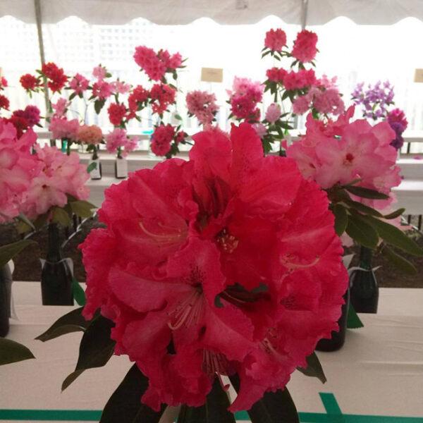 Rhododendron Show at Mendocino Botanical Gardens.