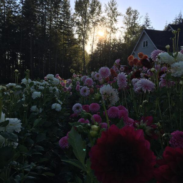 Flirty Fleurs Alicia Schwede's Dahlia Cutting Garden