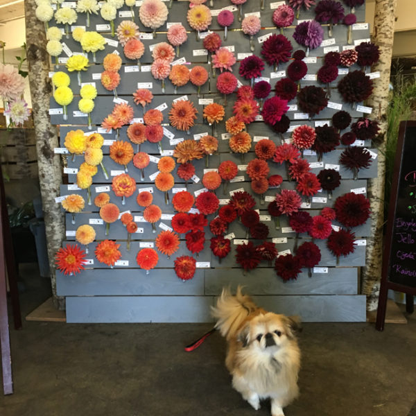 Third Annual Dahlia Wall at Seattle Wholesale Growers Market