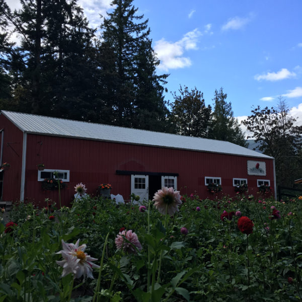 Dahlia Barn of North Bend, Washington