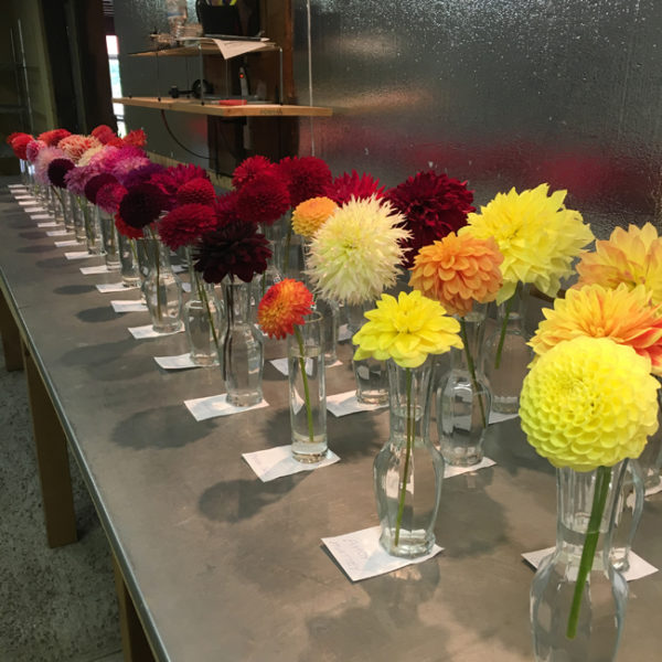 Fantastic display of Dahlia Barns' dahlia varieties.