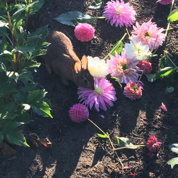 Rabbit eating dahlia blooms