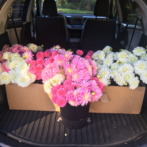 Flirty Fleurs - Dahlias for sale! Rebecca Lynn, Alloway Candy, Bride To Be Dahlias
