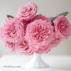 Pink Garden Rose Study with Alexandra Farms