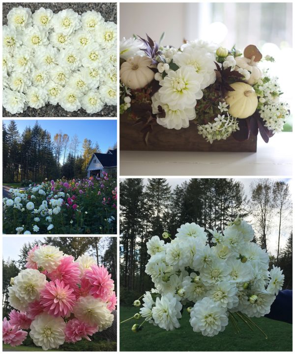 Flirty Fleurs Dahlia Patch, Bride to Be White Dahlia Tubers for Sale, Bride to Be and Alloway Candy Dahlias
