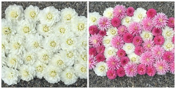 Bride to Be White Dahlias - Dahlia Tubers for Sale. Bride to Be, Rebecca Lynn and Alloway Candy Dahlias