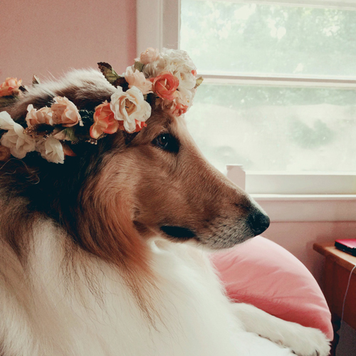 Collie wearing flowers