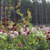Flirty Fleurs' – Dahlia Tubers for Sale!