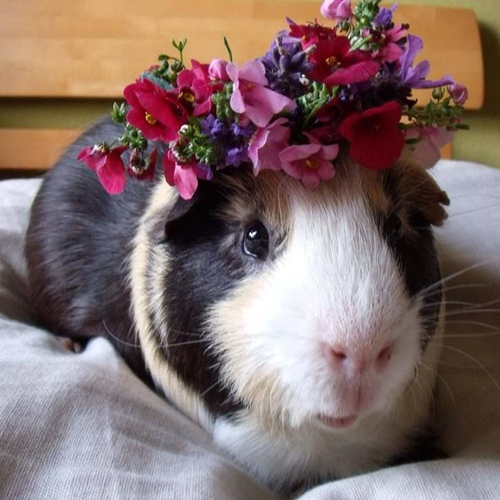Guinea Pig wearing a flower crown