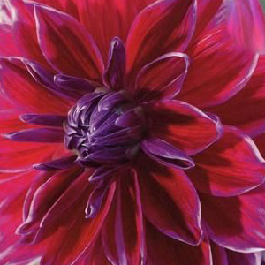 Mero Star Dahlia Tubers For Sale, Dinner Plate Burgundy Dahlia Tubers for Sale