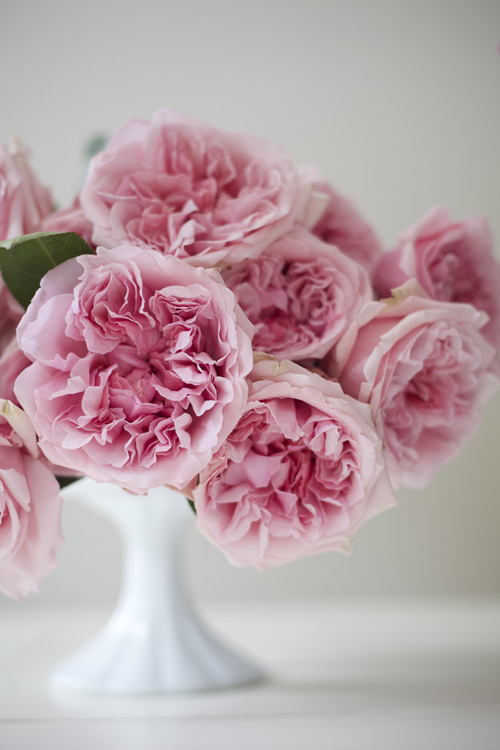 David Austin Miranda, a pink garden rose for the cut floral industry. Grown by Alexandra Farms.