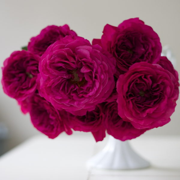 Flirty Fleurs Pink Garden Roses Study with Alexandra Farms - Princess Kishi Magenta Garden Rose