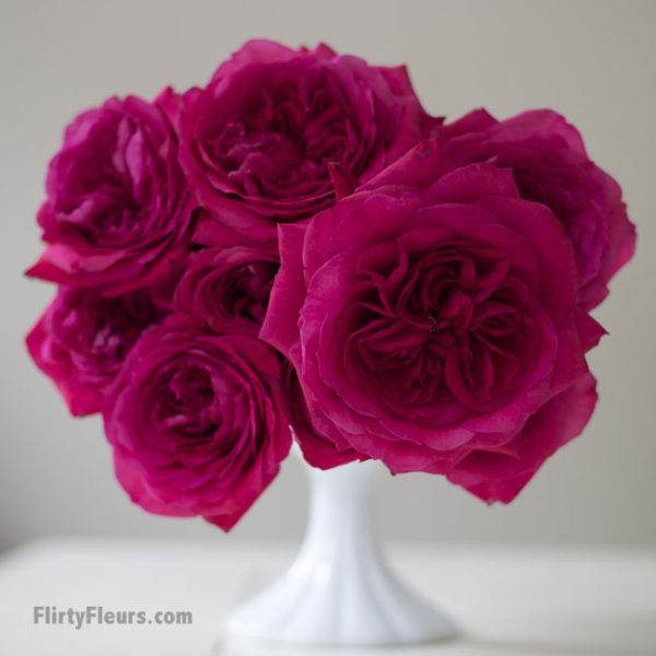 Flirty Fleurs Pink Garden Roses Study with Alexandra Farms -  David Austin Capability Hot Pink Magenta Garden Rose