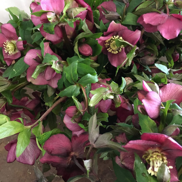 Flirty Fleurs - Florabundance Design Days 2017 - Hellebores
