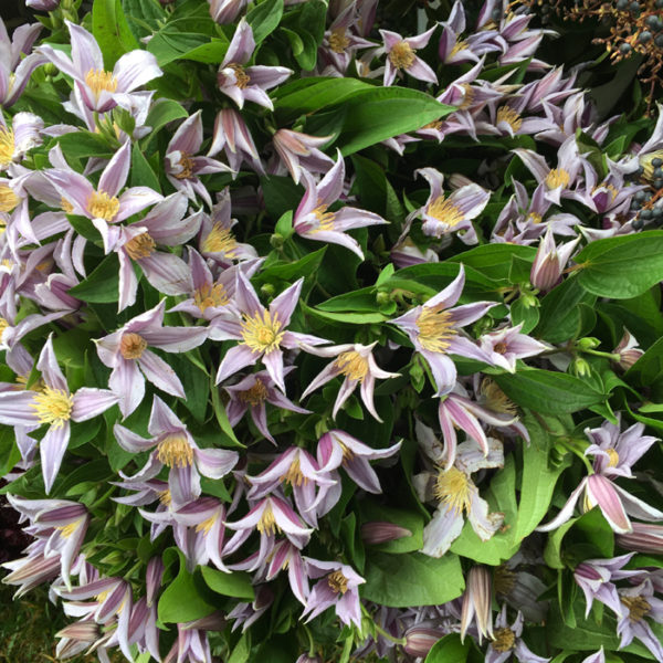 Flirty Fleurs - Florabundance Design Days 2017 - Clematis