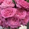 Garden Roses Direct