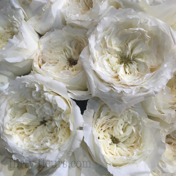 David Austin Patience White Garden Rose