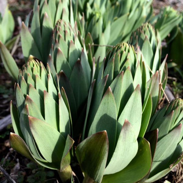 Here Michael shares how the Fritillaria Persica appears when it is growing in the garden.