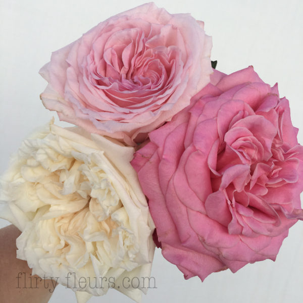 pink and white garden roses - White Patience Garden Rose