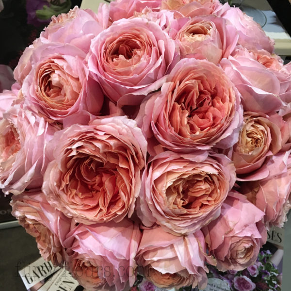 Romantic Antike garden roses by Alexandra Farms