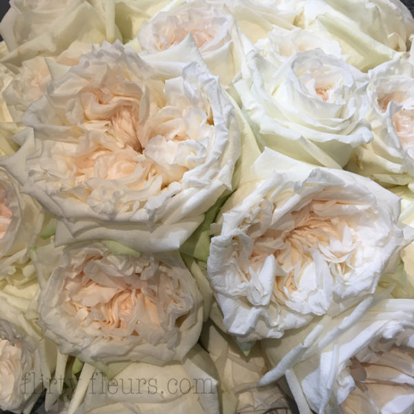 White O'Hara garden roses by Alexandra Farms